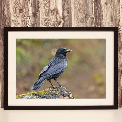 Raven in Nature Framed Print