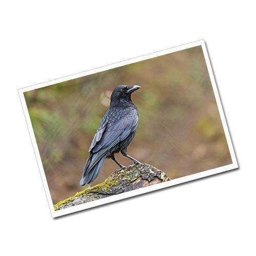 Raven Greeting Card Postcard